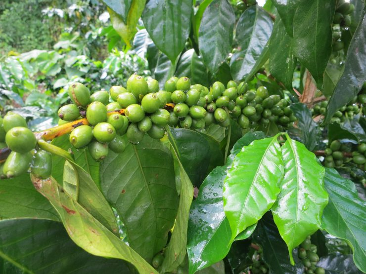 eden coffee cooperative china Pu'erh coffee farm producers sprudge